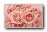 玫瑰 高清植物摄影宽屏壁纸