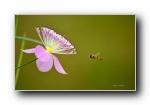 《蜜蜂戏花间》高清微距蜜蜂摄影宽屏壁纸