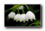 雪滴花,雪花莲,雪铃花,铃兰水仙