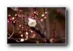 春天的花蕾 宽屏壁纸