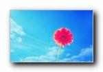 非洲菊 菊花宽屏壁纸