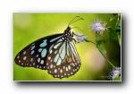 蝴蝶 微距摄影昆虫宽屏壁纸