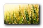 黄金小麦(多分辨率)