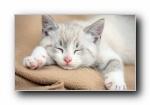 懒睡的小猫可爱镜头宽屏壁纸