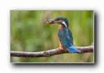 翠鸟(青鸟)幸福鸟