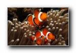 小丑鱼 海葵鱼 热带鱼宽屏壁纸