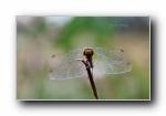 《蜻蜓》昆虫摄影宽屏壁纸