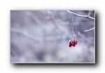 冬天里的野果霜花 宽屏壁纸