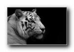 白虎 White tiger