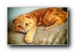 苏格兰折耳猫 Scottish Fold