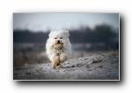 哈瓦那小犬