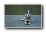 澳洲牧牛犬