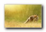 �t狐、赤狐、草狐