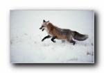 红狐、赤狐、草狐
