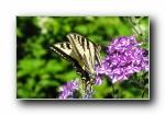 昆虫:蜻蜓,蝴蝶,瓢虫 宽屏壁纸(第二辑)