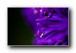 《流动的宝石》花瓣上的水珠水滴摄影宽屏壁纸