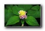 《印第安花�@》小小小花朵��屏壁�