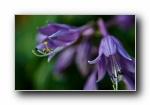 紫玉簪 微距�z影��屏壁�