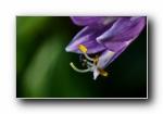 紫玉簪 微距摄影宽屏壁纸