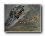 Webshots动物篇-鳄鱼